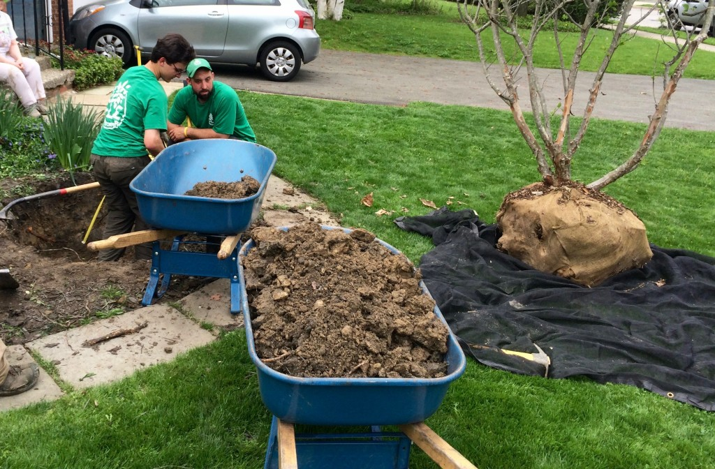 Planting a Hawthorn in Cleveland Heights